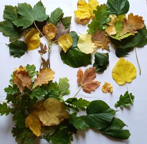 Sachunterricht Herbstprojekt: Blätter im Herbst